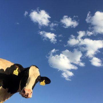 Loslopende koeien zoeken in de Bakenhof
